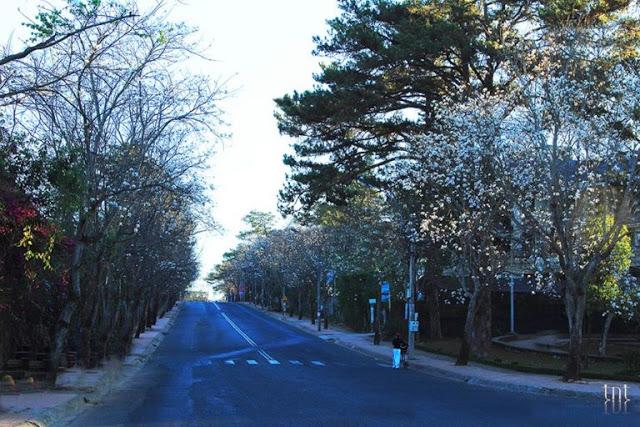 Đừng quên mùa hoa Ban Trắng tháng 12 ở Đà Lạt