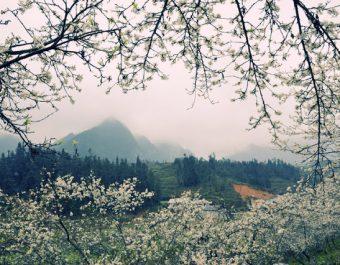 Trọn bộ ảnh hoa Ban Trắng Đà Lạt lung linh khoe sắc cứ ngỡ như đang ở xứ 'Kim Chi